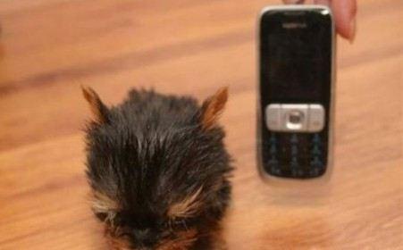 Маленькая собачка Суни претендует на звание самой маленькой в мире
