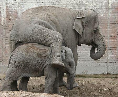 Африканских слонов убивают из-за ценного материала