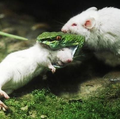 Храбрая мышь напала на змею