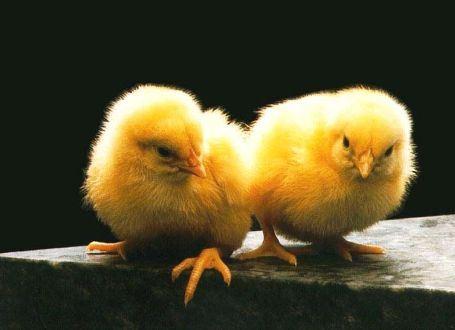 Птицеводство динамично развивается в Липецкой области