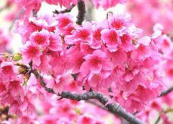 Знаменитые японские деревья теперь будут цвести в Ботаническом саду в Санкт-Петербурге