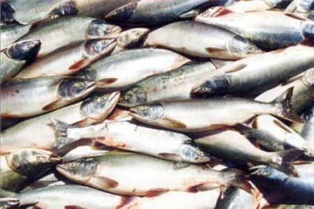 Прудовая рыба Татарстана
