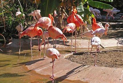Фламинго в зоопарке Сан-Диего