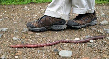 Самые большие червяки - в Австралии