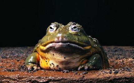 Frog - Goliath