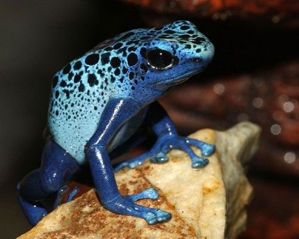 Cocoa frog - the smallest in the world