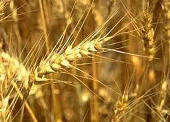 В Ростовской области построят завод глубокой переработки зерна
