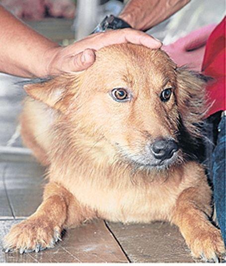 Пес Пуи - самый добрый и умный пес Таиланда