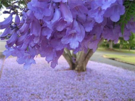 Во время цветения джакаранды вся земля засыпана сиреневыми и синими лепестками