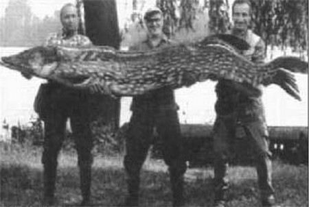 Самую большую щуку в России поймали в озере Ильмень в 1930 году