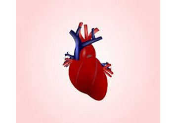 Биологи из Америки вырастили впервые искусственное сердце