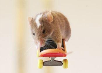 В Австралии научил мышь серфингу