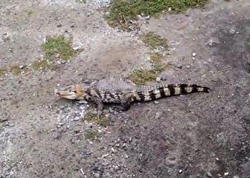 Полиция Екатеринбурга разыскивает автора видео с крокодилом
