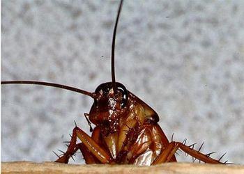 Тараканы провоцируют рак