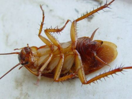 Тараканы не исчезнут