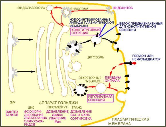 Схема: везикулярный транспорт