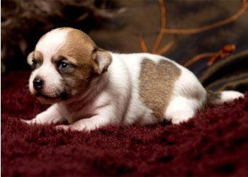 В Англии родился щенок с пятнышком в виде сердца