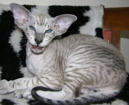 Петерболд - удивительная порода кошек, цена которой достигает 5 тыс. долларов