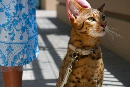 Самая дорогая кошка в мире – это Ашера