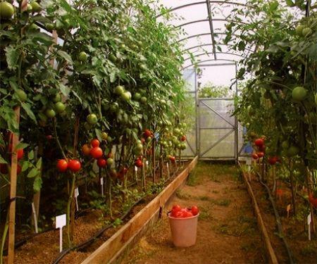 В хорошей теплице и урожай хороший