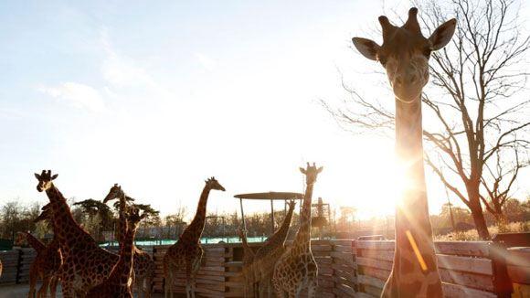 В Копенгагене убили появившегося в результате кровосмешения жирафа