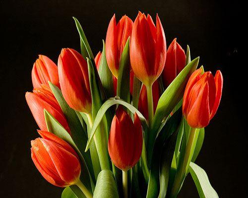 Калининградские цветоводы к 8 марта вырастили 6 миллионов тюльпанов