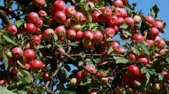 Самые крупные яблоки появляются обычно на третий год плодоношения