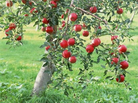 Чтобы яблоко выросло большим, ему необходимы листья