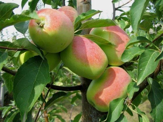 Кандиль синап - сорт яблок с крупными плодами