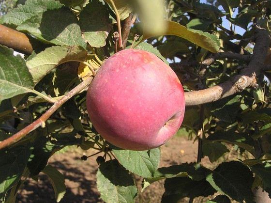 Яблоки сорта Салгирское достигают 170 граммов