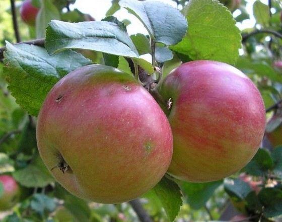 Ренет шампанский - сорт крупных яблок