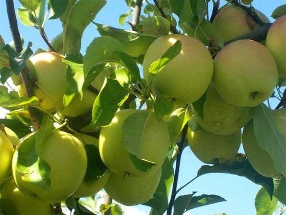Банановая яблоня - очень крупный сорт