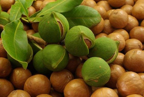 Макадамия - самый калорийный и самый дорогой орех