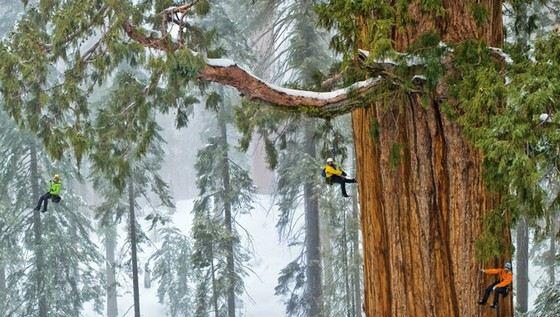 Секвойя Гиперион очень высокое и толстое дерево