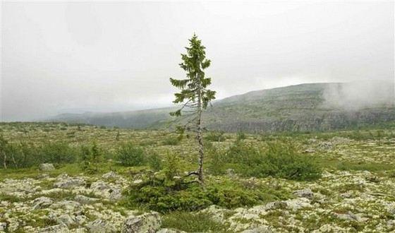 Эта канадская ель растет в Швеции почти 10 тысяч лет