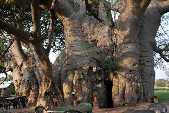 Баобабы - самые толстые деревья в мире
