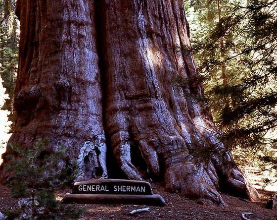 «Генерал Шерман» - самое большое дерево в мире