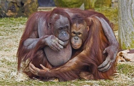 Обезьяны с самыми длинными руками орангутанги