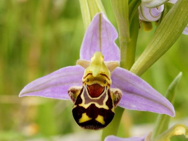 Шрек-орхидея