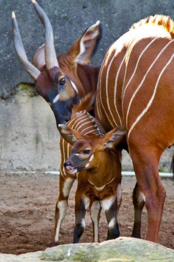 Антилопы банго затачивают о деревья свои длинные рога