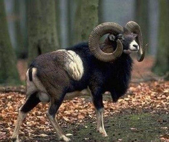 У баранов муфлонов рога растут в длину всю жизнь