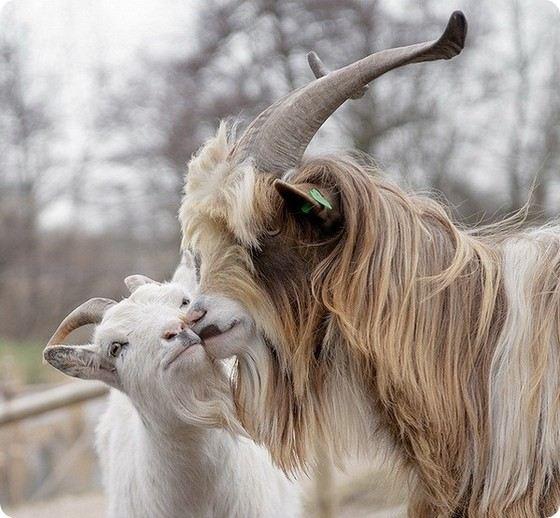 У безоаровых козлов длинными и красивыми рогами отличаются самцы