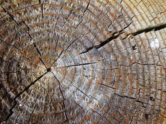 Чем больше колец колец, тем старше дерево