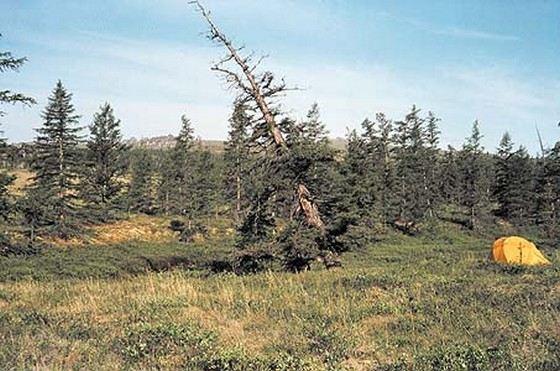 Самое старое дерево в России в год вырастает на 0,22 мм