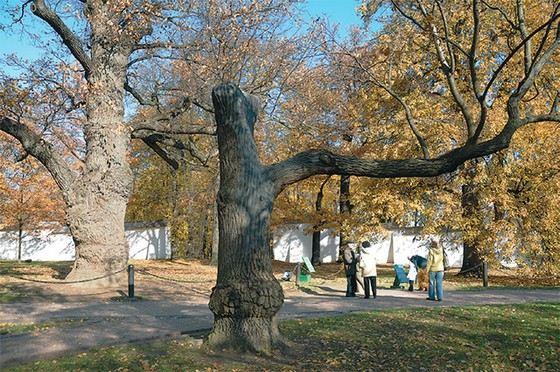 Старые дубы в Коломенском парке Москвы