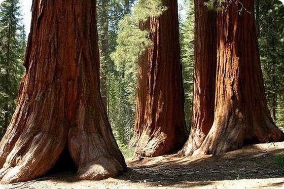 Калифорнийский национальный парк - место, где растут древние секвойи