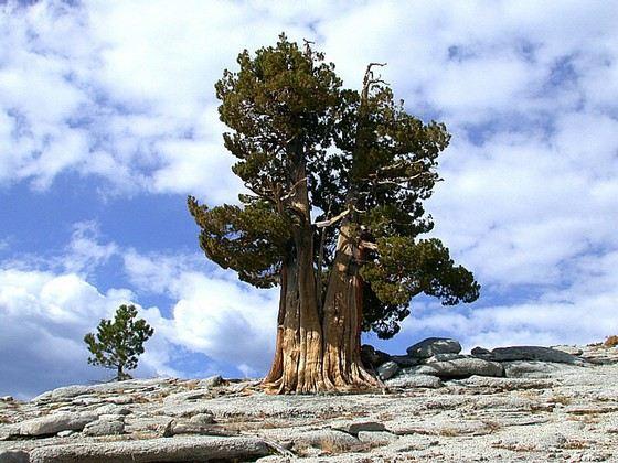 Дерево Мафусаил - самое старое в мире