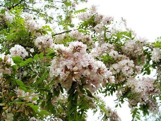 Белая акация входит в рейтинг самых прочных деревьев