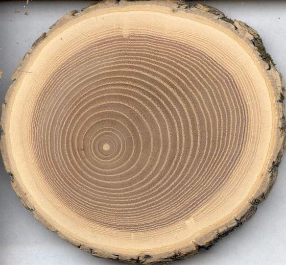 У дуба крепкая и красивая древесина