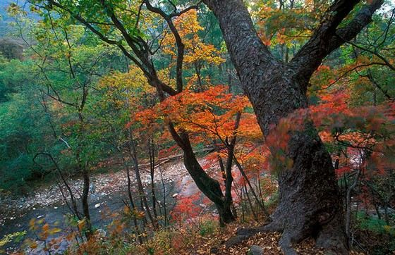 Береза Шмидта из-за прочности называют железным деревом